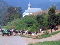 Big Sandy Mush-cows going to pasture