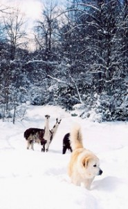 RG-Heidi with the Llamas in Snow